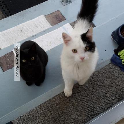 339888 flocon chat perdu à schiltigheim - chat perdu france